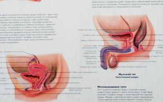 Урогенитальный уреаплазмоз (уреалитикум) и мужское здоровье