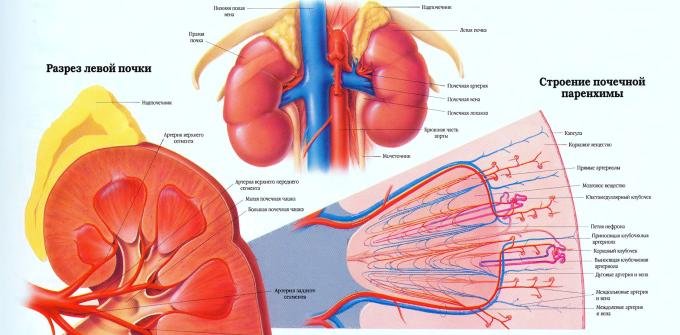 Пиелоэктазия левой почки у новорожденного